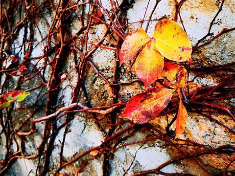 留一片红叶见证这个城市的季节