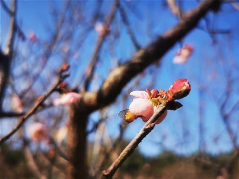 看桃花的季节、正在盛开绽放(直播中)